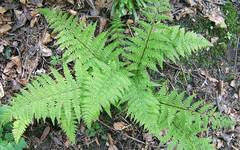A photo of Lady Fern