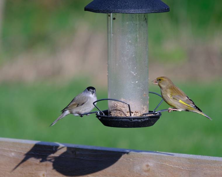A blackcap and greenfinch on a bird feeder