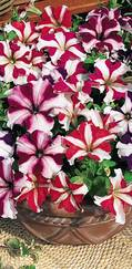 A photo of Petunia 'Stars N Stripes'