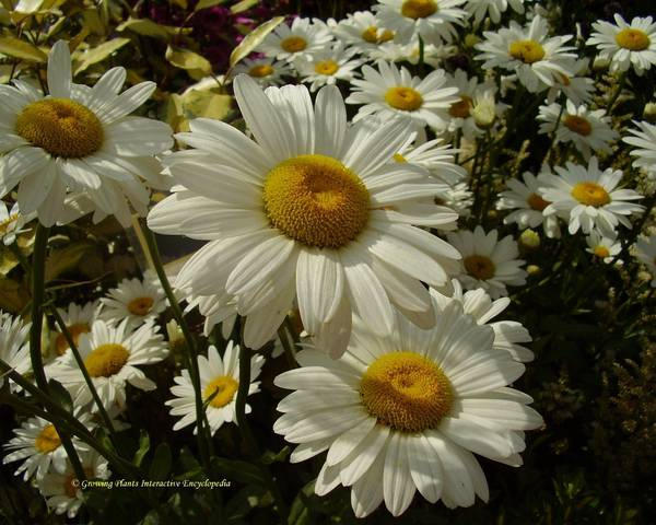A picture of a Shasta daisy