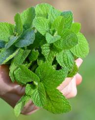 A photo of Lemon Balm