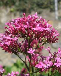 A photo of Red Valerian
