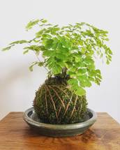 Large Maidenhair Fern Kokedama