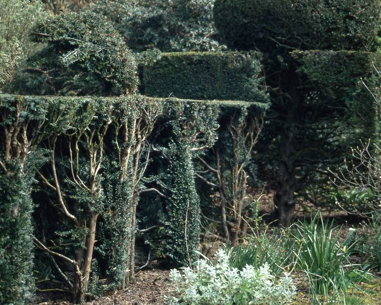 Renovating an old yew hedge one side at a time