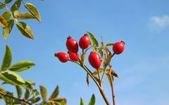 A photo of Dog Rose