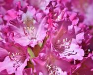 A photo of Rhododendron