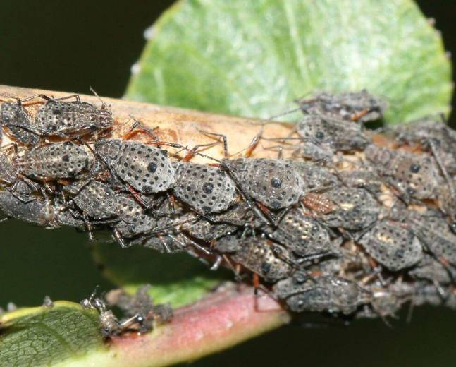 A close up photo of a grey willow aphids Aphididae insect on a brown tree branch