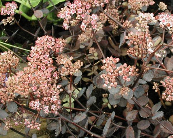 A picture of a Sedum 'Vera Jameson'