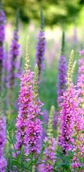 A photo of Loosestrife