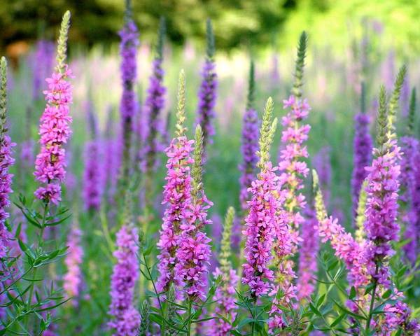 A picture of a Loosestrife
