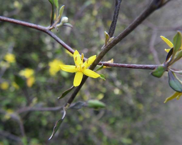 A picture of a Corokia