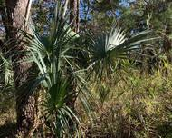 A photo of Cabbage-Palm