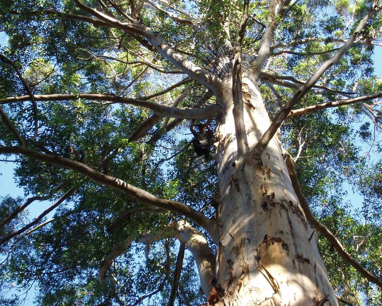 Looking up towards the canopy of a tall Karri tree (Eucalyptus diversicolor)