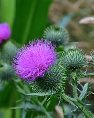 A photo of Plume Thistle