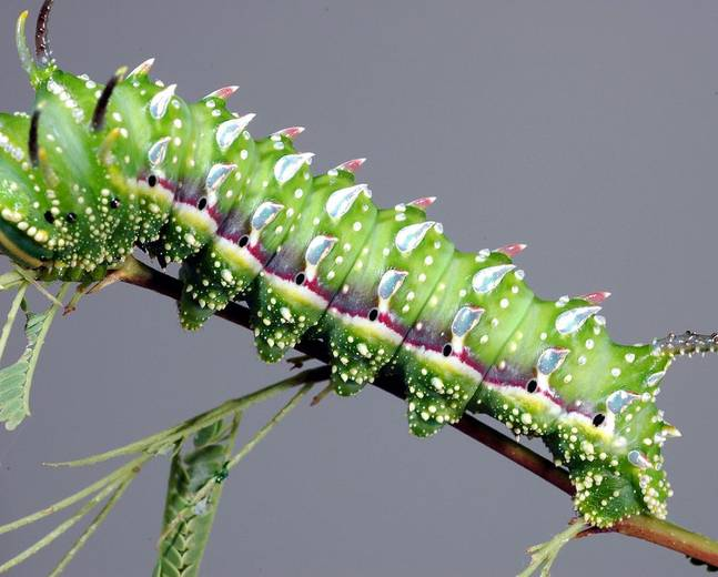 A close up of a green caterpillar in a tree