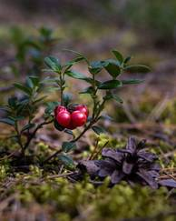 A photo of Cowberry
