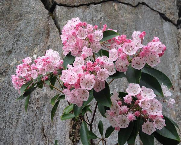 A picture of a Kalmia