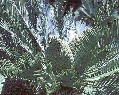 A picture of a Kei Cycad