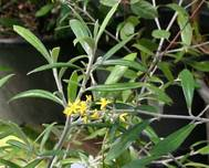 A close up of a Corokia plant with yellow flowers and green leaves
