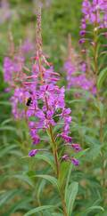 A photo of Rosebay Willowherb