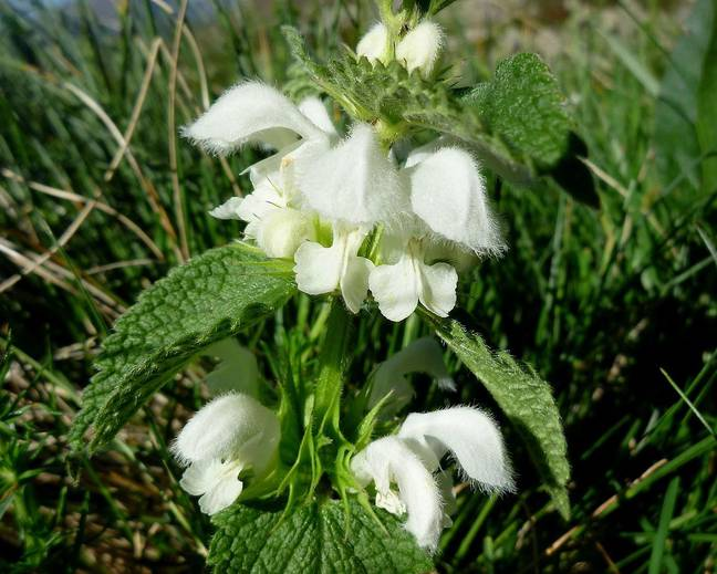 A white flower on a Lamium plant with green foliage growing in the wild