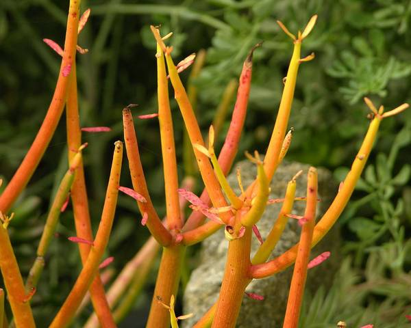 A picture of a Pencil Plant