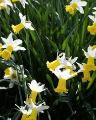A photo of Daffodil 'Jack Snipe'