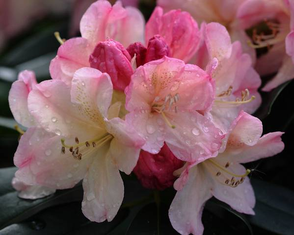 A picture of a Rhododendron 'Percy Wiseman'