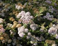 A photo of Japanese Spirea 'Little Princess'