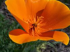A close up of a orange Eschscholzia californica flower