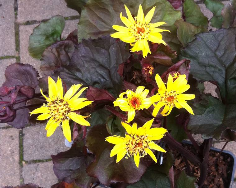 Ligularia flower