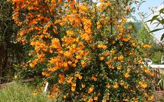 A photo of Darwin's Barberry