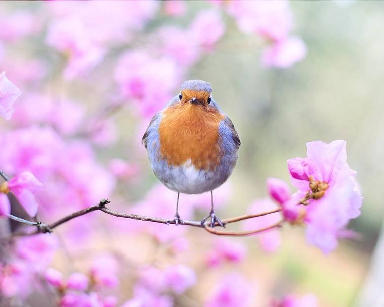 A robin perched on a tree covered in pink blossom