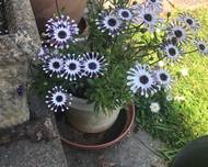 A photo of African daisy 'Pink Whirls'