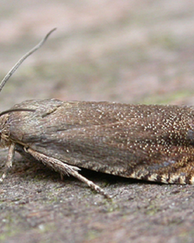 A photo of Pea Moth