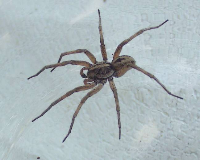 A spider Araneae belonging to the wolf spider family Lycosidae