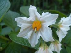 A close up of a white and yellow Solanum tuberosum flower