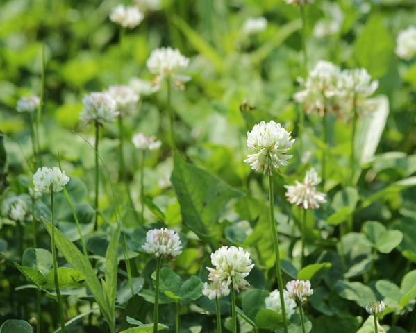 A picture of a Clover