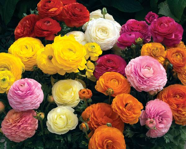 A picture of a Ranunculus 'F1 Mache'