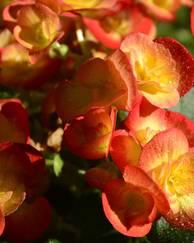 A photo of Begonia 'Fireball'