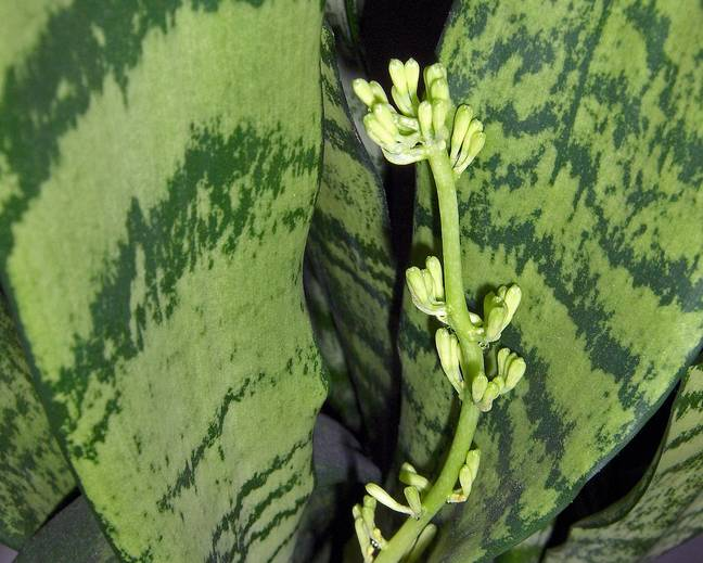 A close up of a green Sansevieria plant in flower