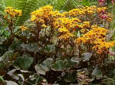 Some yellow Ligularia dentata 'Britt Marie Crawford' flowers in a garden