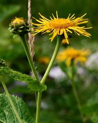 A photo of Inula