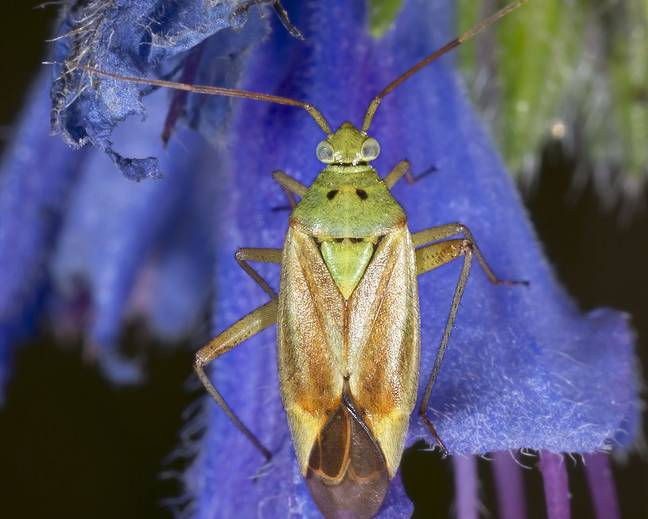 A close up of a capsid bug Miridae on a flower