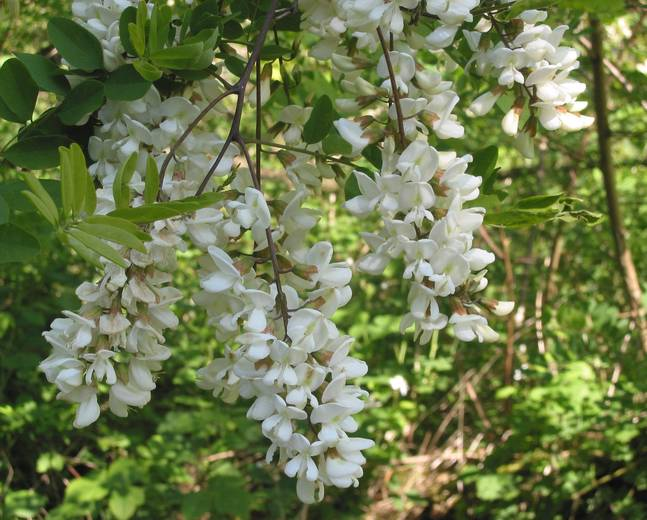 A close up of some white Robinia pseudoacacia flowers on a tree