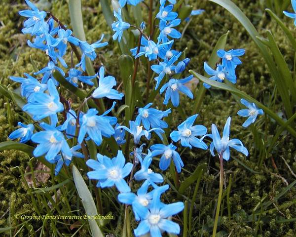 A picture of a Siberian Squill