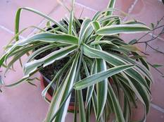 A close up of a green and white variegated Chlorophytum comosum 'Variegatum' plant
