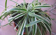 A photo of Variegated Spider Plant