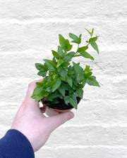 English Ivy 'Shamrock' - FREE DELIVERY