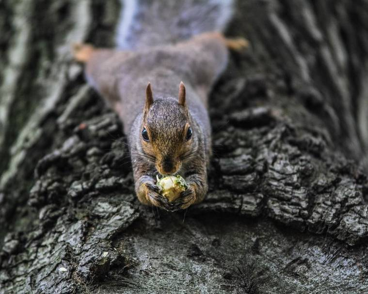 A grey squirrel hanging upside down on a tree trunk while eating a nut